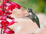 Cute Little hummingbirds Wallpapers34 pics