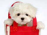 Cuddly Fluffy Maltese Puppies (Vol.2)42 pics