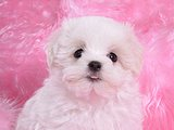 Cuddly White Maltese Puppies (Vol.1)30 pics