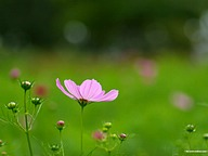 Cosmos Flowers and Cosmos Flied (Vol.03)44 pics