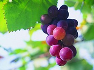 Fruit Photography : Grapes25 pics